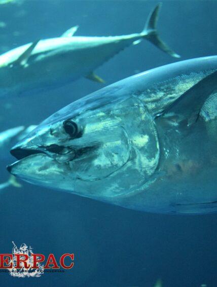 Sostenibilidad de la pesca de Atún Rojo